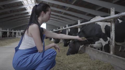 Young positive female worker on the cow farm trying to feed the mammal by hand Footage