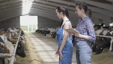 Portrait two girls farmers making a tour of the barn with cows on the farm. Girl Live Action