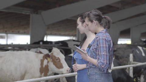 Portrait two girls farmers making a tour of the barn with cows on the farm. Girl Footage
