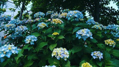 "Blooming Japanese Hydrangeas ""AJISAI"" 02 Live Action"