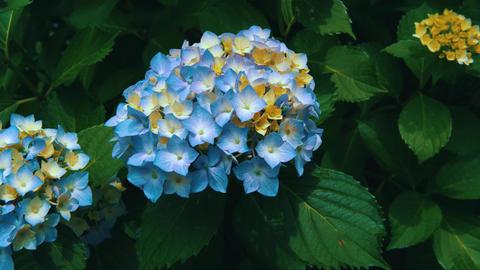 "Blooming Japanese Hydrangeas ""AJISAI"" 01 Live Action"