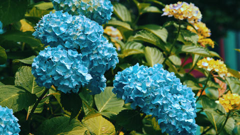 "Blooming Japanese Hydrangeas ""AJISAI"" 04 Live Action"