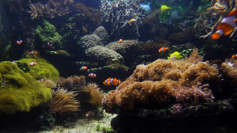 Clown fish and coral close Footage
