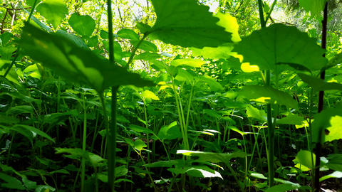 Viewpoint of Green Forest Floor Plants. Up-Close Lush Greenery Under Woodland Canopy Live Action