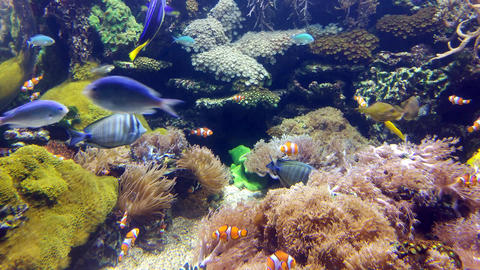 Clown fish in the coral reef Footage