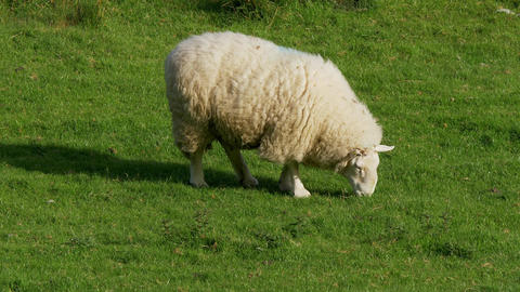 Sheeps grassing in the green grass of Ireland Footage