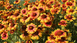 Flowers of gaillardia in garden Footage
