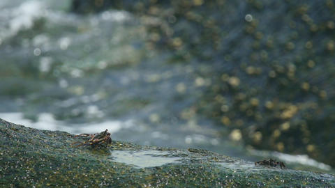 Crabs on the rock at the beach Footage