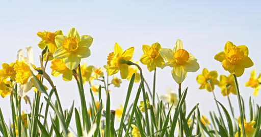 Narcissus Flowers In Springtime Footage