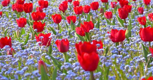 Tulip Garden In Springtime Footage