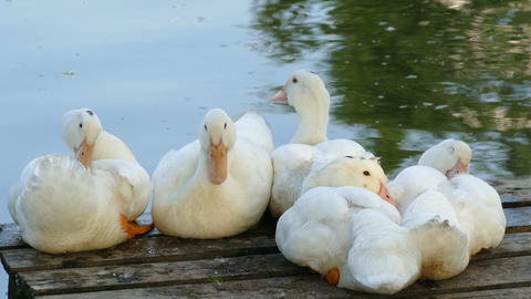 White Geese in the Village Pond in Summer Footage