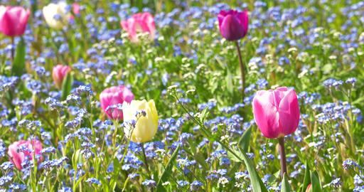 Tulip Garden In Springtime Live Action