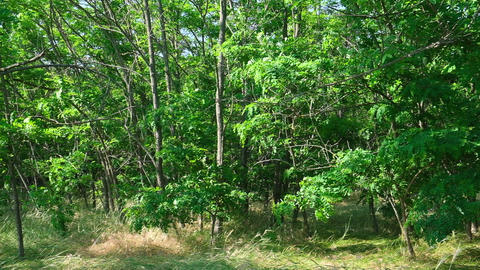 growing acacia in the steppes of Ukraine Acción en vivo