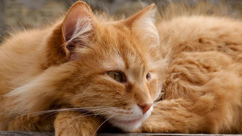 adult fluffy red cat rests and falls asleep closing its eyes Archivo