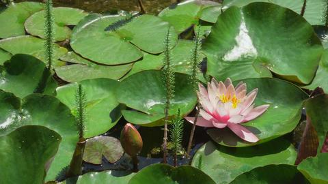 Beautiful Lotus Flower In Pond Footage