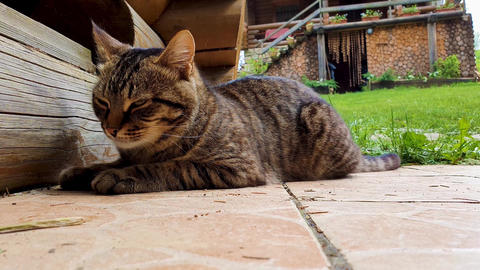 Close up portrait funny calm cat lying on the ground and resting in a country yard. Adorable young Footage
