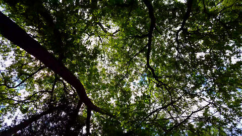 Low Angle View of Forest and Blue Sky With Wind Blowing. Upward Viewpoint of Woodland Trees and Live Action