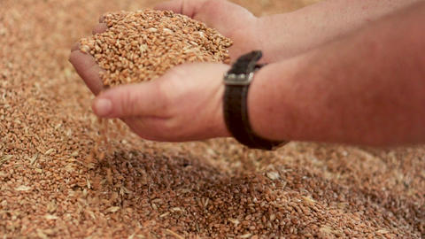 Warehouse harvested grain wheat, farmer hand pouring. Warehouse of freshly Footage