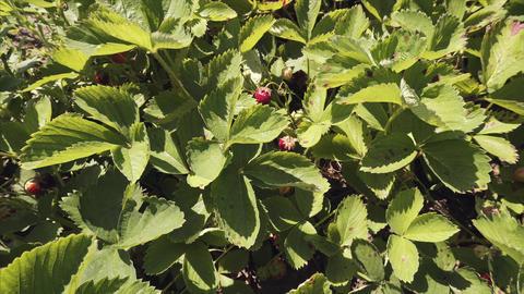 Red juicy strawberries, organic berries, summer harvest in the garden Footage
