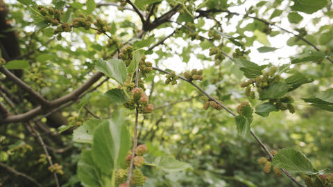 Wild unripe mulberry fruits hang on a tree branch and sway in the wind Footage