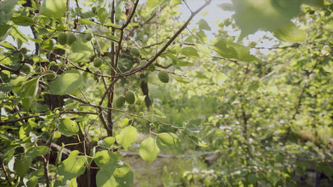 A branch of fresh unripe apricots. Harvest of organic fruits on the farm Footage