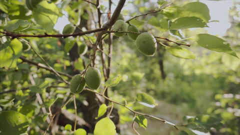 Unripe green apricot fruit hanging on tree in organic orchard Footage