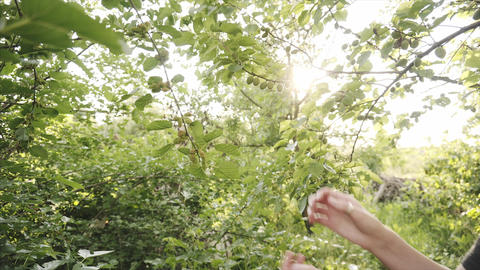 Female hand checking unripe mulberry fruits on a tree branch Footage