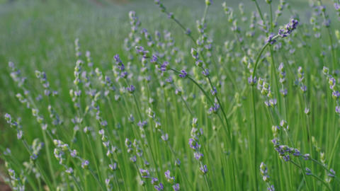 Closeup of growing lavender, early flowering at summer day Live Action