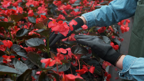 Young woman in the greenhouse with flowers checks a pot of red poinsettia on the Live Action