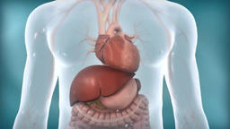 Transparent male internal organs functioning of the liver Footage
