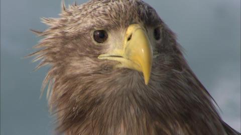 White-tailed sea eagle close-up Live Action
