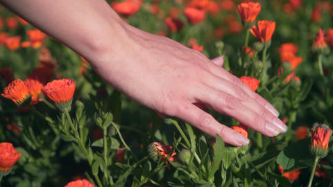 Woman's hand touches calendula flowers. The woman leads with her hand over the Footage