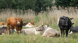 Herd of cows on a pasture. Organic farming Live Action