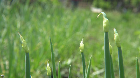 Green onions in garden Footage