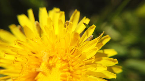 Yellow dandelions on green meadow in springtime. Beautiful yellow dandelion Footage