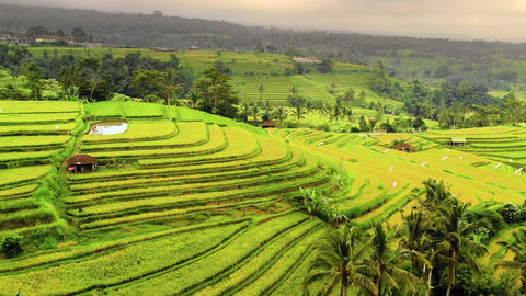 Aerial shot of the lush green rice paddies of Bali Footage