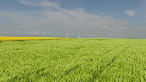 Flight out from the green wheatfield with wind turbines at horisont Wind blow Footage