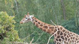 Rothschild's giraffe is eating. Giraffa camelopardalis rothschildi Footage