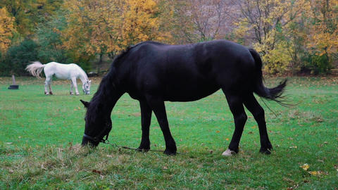 Slow Motion White And Black Horses Grazing In A Green Pasture Live Action