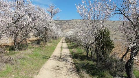 almond blossoms over the road along a vineyard in the mountains Footage