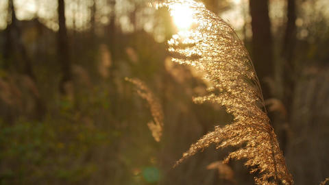 Reed on nature, backlight by sun. Evening sun Footage
