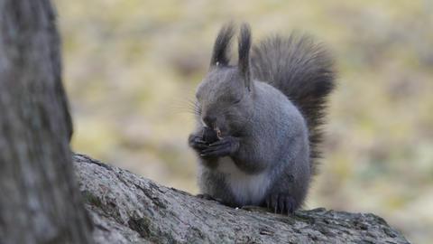 A squirrel eats bait Footage
