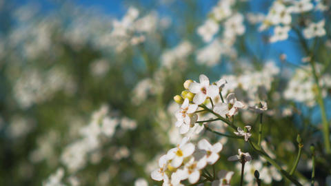 Flowers and leaves of white shrubs sway in the wind on a tree branch in the park Live Action