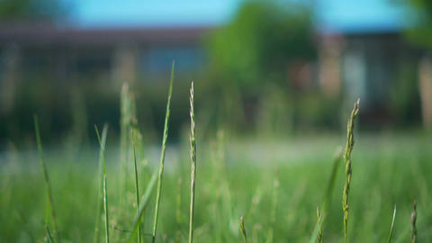 A light breeze moving green spikelets of grass in a meadow among a meadow, cars Live Action
