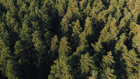 Coniferous forest top view aerial photography a dense pine forest of pines and Live Action