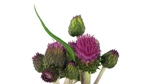 Time-lapse of growing artichoke vegetable 3b Stock Video Footage