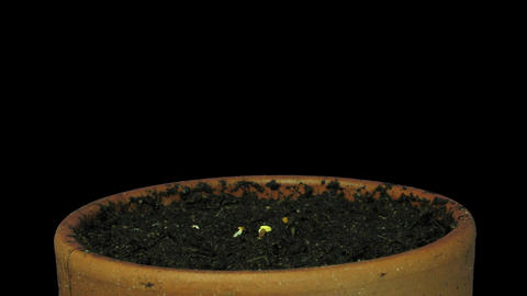 Time-lapse of growing cress plant 1x Stock Video Footage