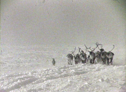 Reindeer team. Newsreel of the USSR Stock Video Footage