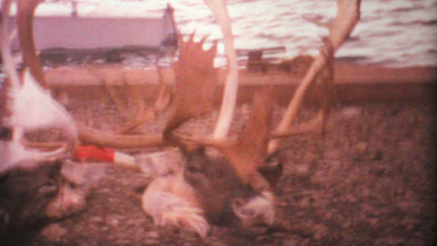 Dead Elk And Deer From Arctic Hunting Trip 1969 Vintage... Stock Video Footage