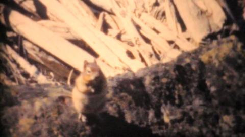 Lady Feeding Chipmunks In Banff 1958 Vintage 8mm film Stock Video Footage